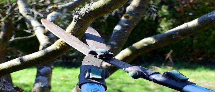 How to Prune Old Apple Tree